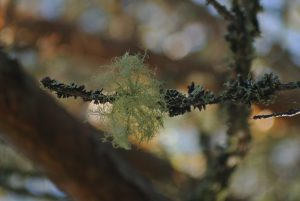 Forest has its treasures like lichen tassel | Pohoto by Mika Majaranta